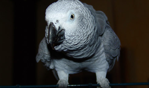 161847 9304 What are the most suitable toys for African Gray Parrots