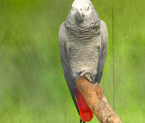 287496 8616 African Gray Parrots behaviours