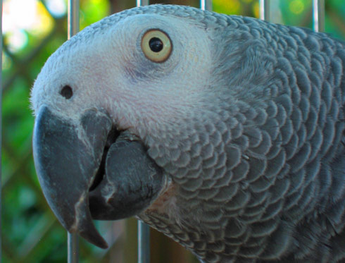 321150 7554 Lifespan of African Grey parrots