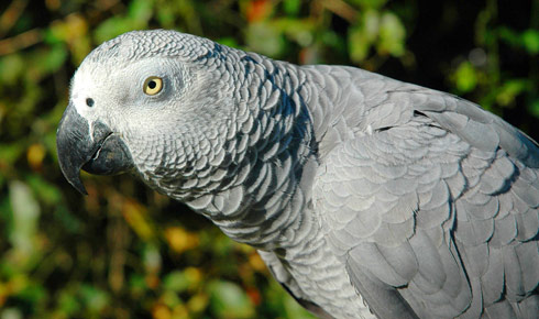 554074 88730730 Lifespan of African Grey parrots
