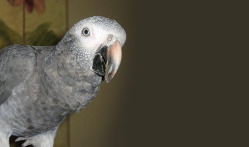708851 58417462 What are some unique names for African Gray Parrots