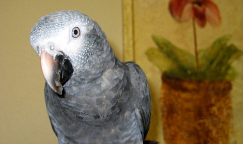 708853 95873311 What you need to know when breeding African Gray Parrots