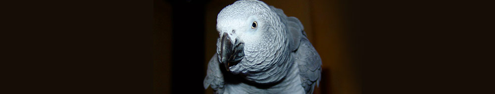 Cost of African Gray Parrots for Sale | African Grey Parrot